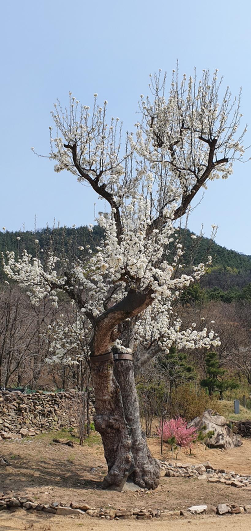 구미시 도개면 자비사 소유 돌배나무를 천연기념물 지정을 !